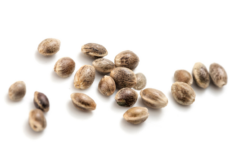 cannabis-seeds