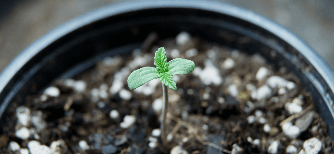 small-scale-cannabis-producers